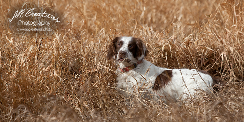 Remembering-Mikes-Springer-Spaniels-121026_0003