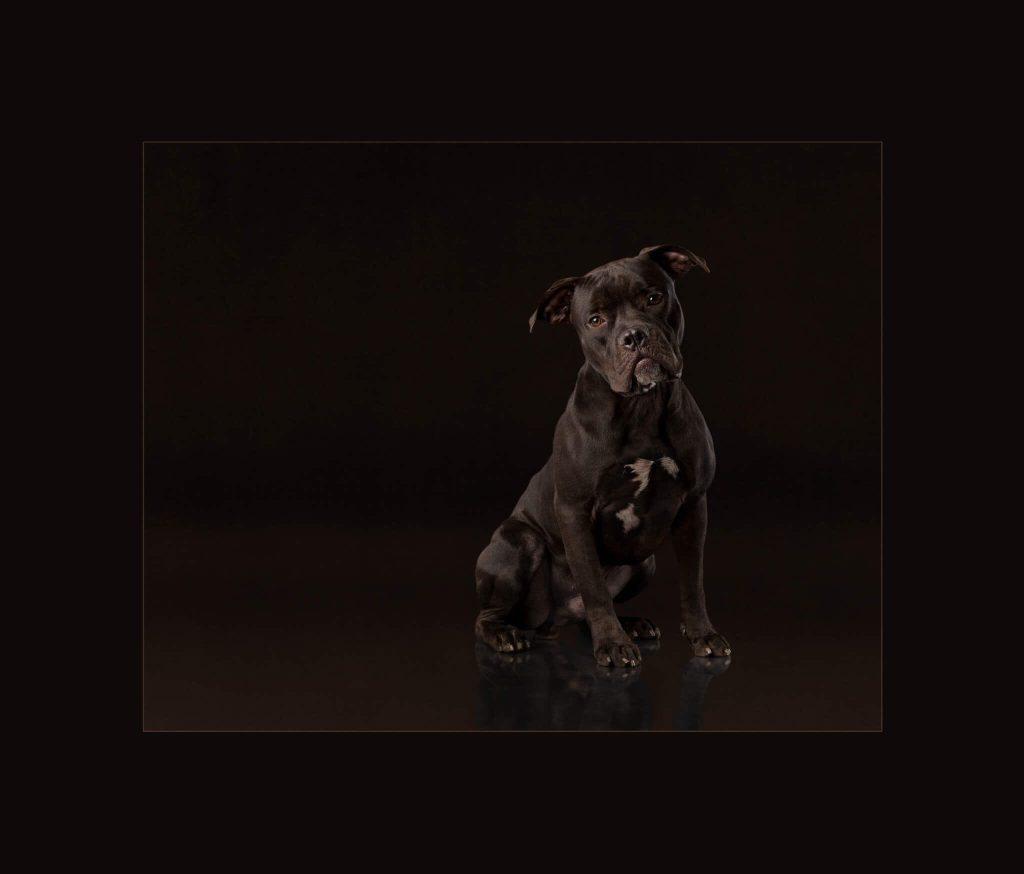Pitbull mix dog rescue shelter