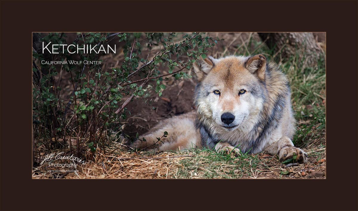 North American Gray Wolf, Ketchikan, Male, California Wolf Center