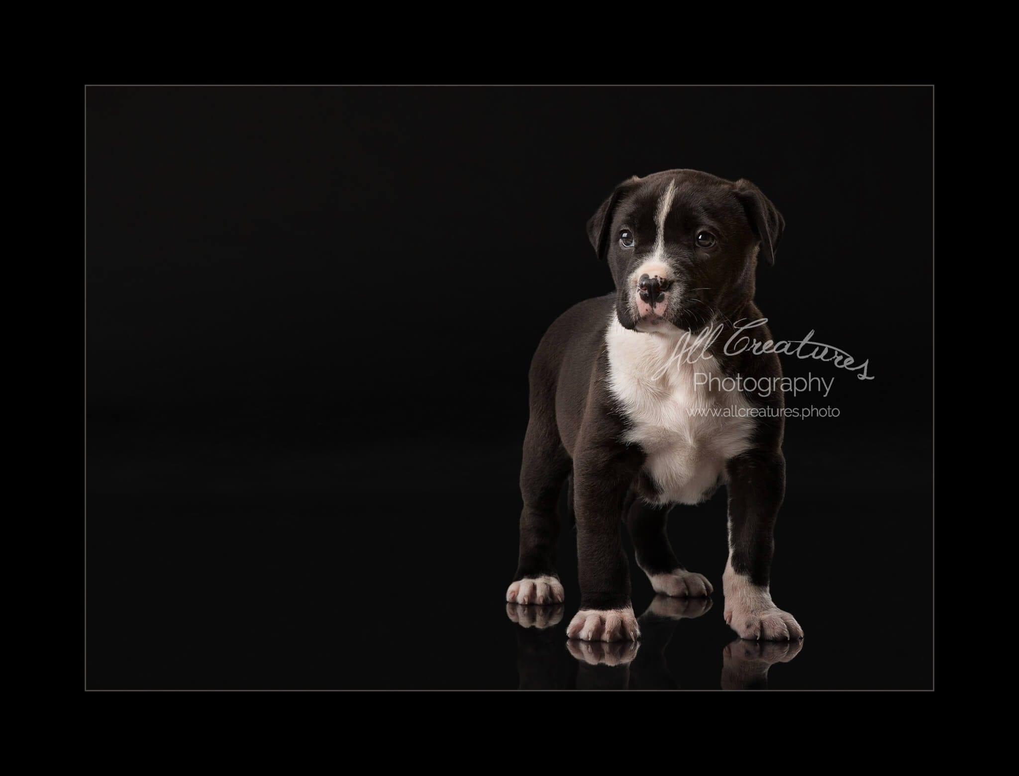 Rescue puppy pitbull mix 160303_0117 Nani